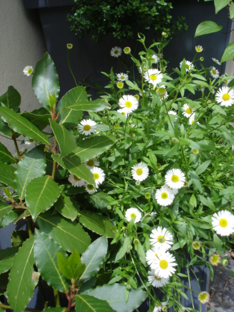 erigeron, avril 2009